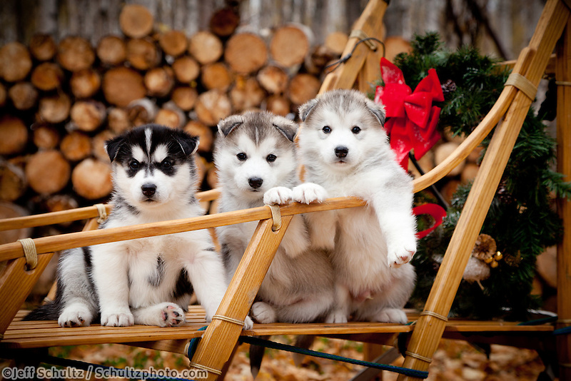 """Siberian Husky Puppies In Traditional Wooden Dog Sled With Christmas Wreath, Alaska"""