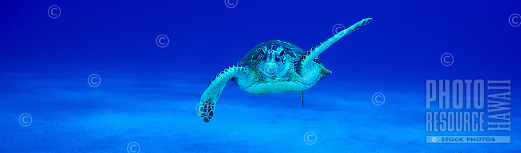 The Green Sea Turtle (Chelonia mydas) is a common sight around Hawaii's coral reefs. Hawaiian name is Honu.