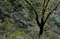 Tangled limbs drapped in green velvet moss in the Santa Cruz Moutains.