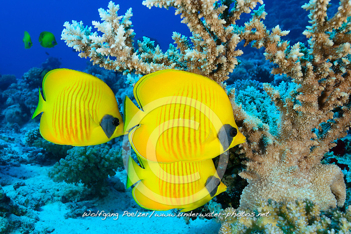 Chaetodon semilarvatus, Schule von Gelber Rotmeer Falterfischen oder Maskenfalterfichenund, school of Bluecheek or Yellow Butterflyfish, Marsa Alam, Wadi Gimal, Rotes Meer, Ägypten, Red Sea, Egypt