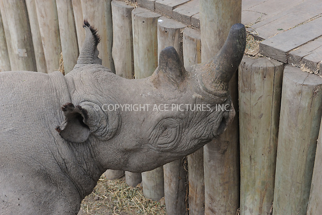 WWW.ACEPIXS.COM<br /> February 29, 2016 New York City<br /> <br /> Baraka the blind Black Rhino seen in Sweetwaters Game Reserve Ol Pejeta Conservancy on February 29, 2016 in Kenya.<br /> <br /> Credit: Kristin Callahan<br /> web: http://www.acepixs.com