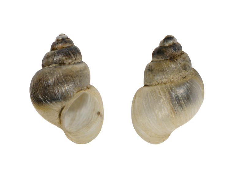 Mercuria similis<br /> Swollen spire shell