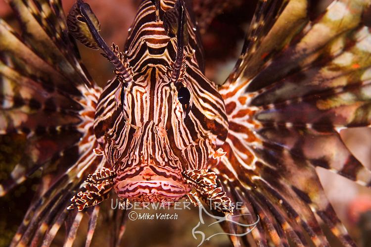 Lionfish Portrait, Pterois volitans, Anilao, Batangas, Luzon, Philippines, Pacific Ocean