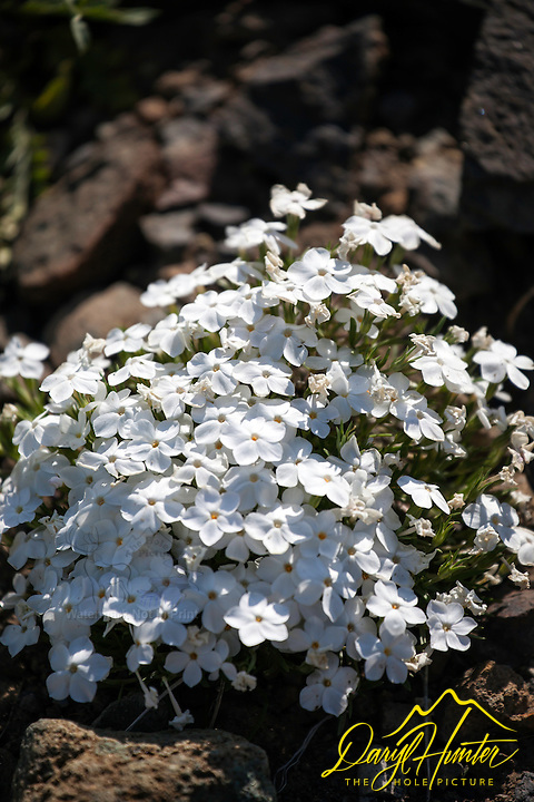 Alpine Smelowskia, wildflowers of Yellowstone