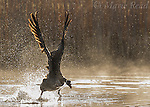 Canada Goose (Branta canadensis) territorial individual taking flight in pursuit of an intruder, backlit, New York, USA