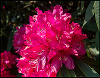 BNPS.co.uk (01202 558833)<br /> Pic:  PhilYeomans/BNPS<br /> <br /> The huge blooms.<br /> <br /> Shrubzilla - Britain's biggest rhododendron bush has burst into flower early after ideal conditions have produced a stunning display.<br /> <br /> The majestic shrub, that measures 120ft long and 50ft high, is within the gardens of the exclusive South Lodge Hotel in Horsham, West Sussex.<br /> <br /> And head gardener Paul Collins is going to need a bigger set of shears to prune the mountainous shrub that is actually native to the Himalayas.<br /> <br /> The plant is currently covered in hundreds of vibrant purple flowers having benefited from a mild winter that was boosted by a wet February.<br /> <br /> The rhododendron - Rhododendron arboreum Smithii in Latin - was planted more than 120 years ago by Victorian explorer Frederick Du Cane Godman.