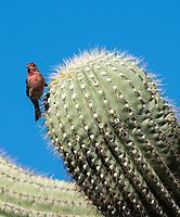 Male House Finch, Haemorhous mexicanus, perches on a Saguaro cactus, Carnegiea gigantea, in the Desert Botanical Garden, Phoenix, Arizona