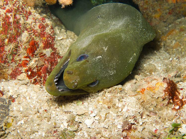 Green Moray (Gymnothorax funebris) on a tropical coral reef off the island of Roatan, Honduras.