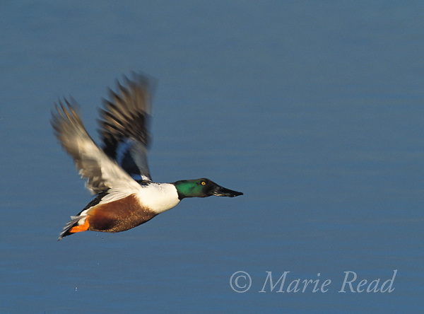 Northern Shoveler (Anas clypeata) male in flight, California, USA<br /> Slide # B24-421