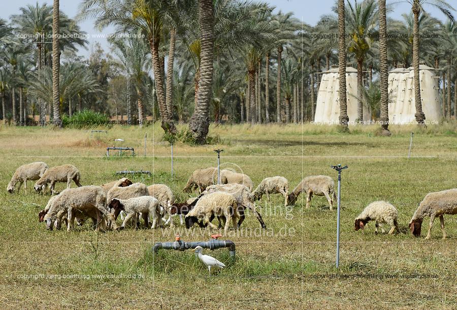 EGYPT, Bilbeis, Sekem organic farm, desert farming, in the year 1977 here was only desert, sheep breeding and date palmtrees / AEGYPTEN, Bilbeis, Sekem Biofarm, Landwirtschaft in der Wueste, Schafhaltung und Dattelpalmen