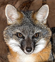 1118-0804  Gray Fox in Desert Underground Resting in Den, Urocyon cinereoargenteus © David Kuhn/Dwight Kuhn Photography
