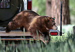 Nevada Department of Wildlife black bear biologist Carl Lackey releases a bear west of Carson City, Nev., on Sunday, May 25, 2014. The 8-year-old female bear was &quot;intercepted early in the cycle of conflict behavior&quot; and subjected to aversion training. <br /> Photo by Cathleen Allison