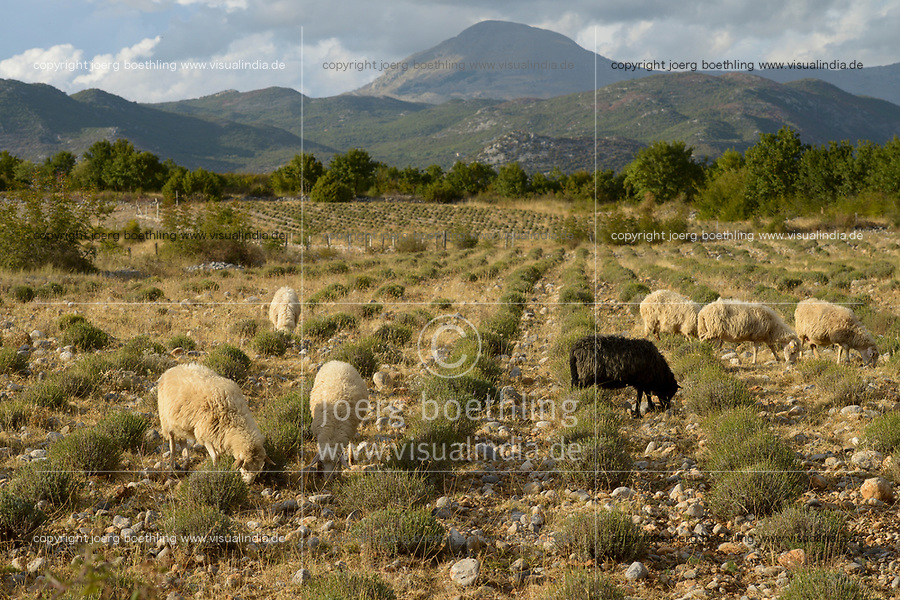 ALBANIA, Shkodra, farming of herbal and medical plants, sheeps in lavender field infront of albanian alps / ALBANIEN, Shkoder, Anbau von Heil- und Gewuerzpflanzen, Schafherde in Lavendel Feld vor Albanischen Alpen