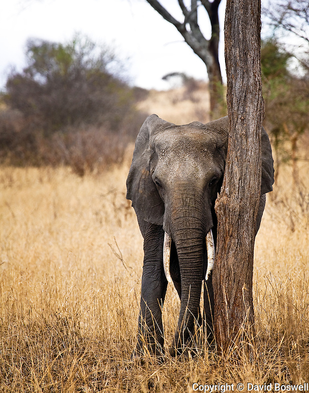 An African Elephant rubbing scent against a tree in the woodlands of Tarangire National Park, Tanzania.
