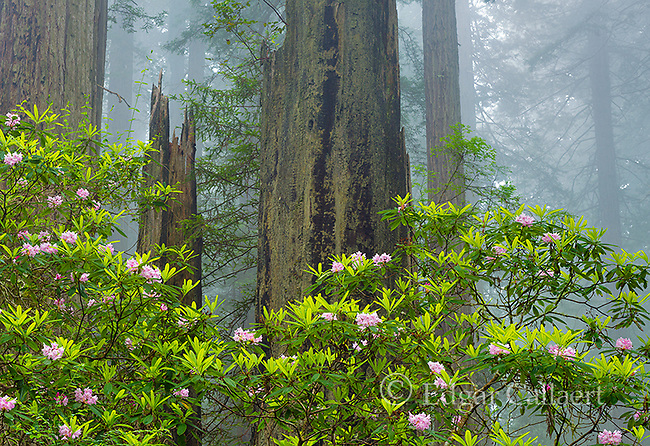 Rhododendron Bloom, Redwoods, Coastal Fog, Damnation Creek, Del Norte Redwoods State Park, Redwood National and State Parks, California