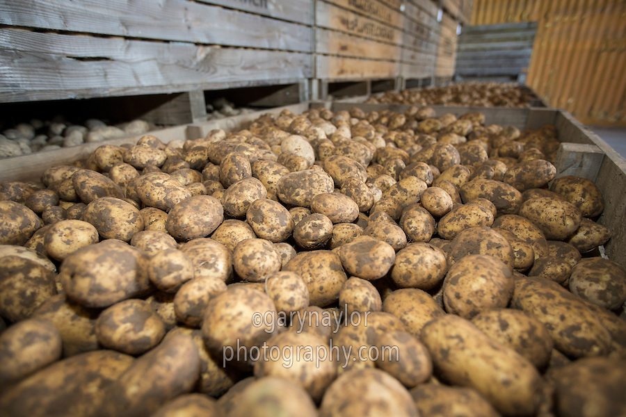 Marabel potatoes being stored in refrigerated box store - September, Norfolk