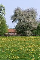 Dorfidylle mit blühender Löwenzahn-Wiese, blühenden Obstbaum, Lebensraum für Kulturfolger