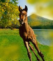 Arabian foal near lake.