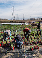 The Welby Plants nursery in Denver, Colorado, Friday, April 29, 2013. Welby Plants was one of the first nurseries to establish a brand, featuring their Hardy Boy plants.<br /> <br /> Photo by Matt Nager