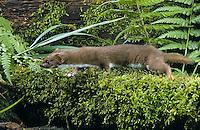 Mauswiesel, Maus-Wiesel, Kleines Wiesel, Marder, Mustela nivalis, least weasel