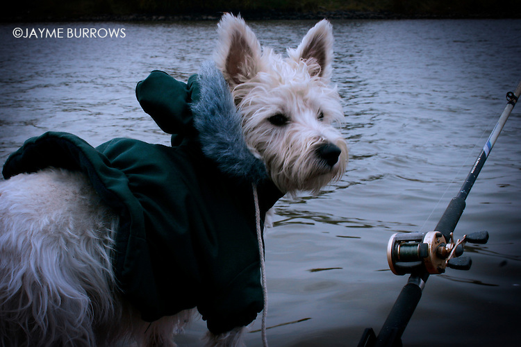 A West Highland Terrier peaks over the side of a fishing boat.