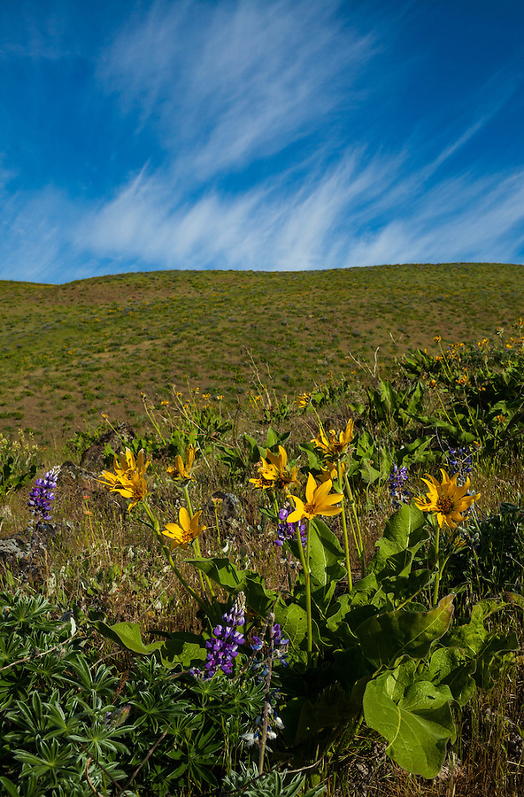 Yellow balsamroot flowers are seen below a field of streaking cirrus clouds.