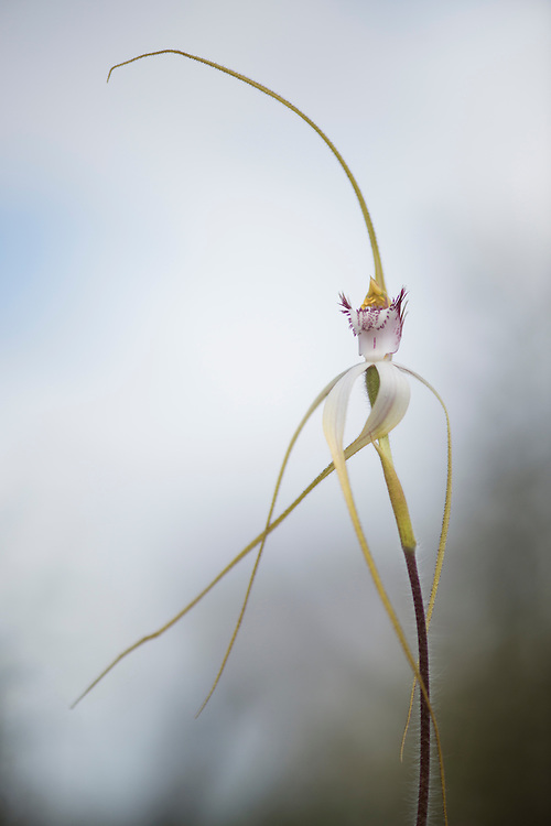Great spider orchid in wildflower country. Eneabba, Western Australia.