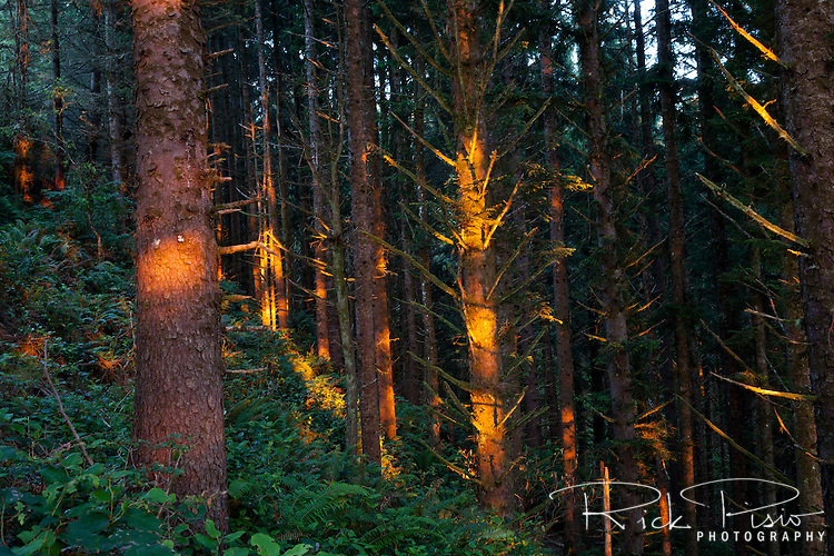 Rays of late afternoon sunlight shine through the coastal forest at southern Oregon's Samuel H. Boardman State Park.