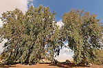 Israel, the Negev Desert. Eucalyptus tree in Be'erotaim