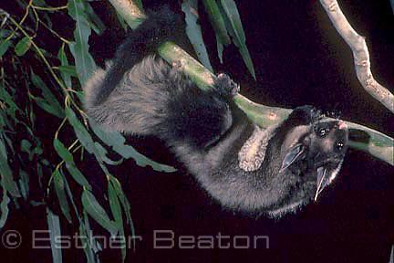 Yellow-bellied Glider (Petaurus australias) hanging upside down. Southeastern Australia. Threatened species