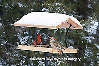 00585-037.16 male Northern Cardinal & male Northern Flicker on platform tray feeder, Marion Co. IL
