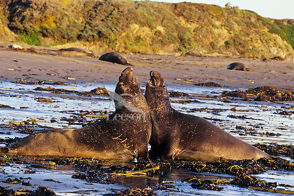 Two young male Northern Elephant Seals (Mirounga angustirostris) confront one anouther on a California beach.