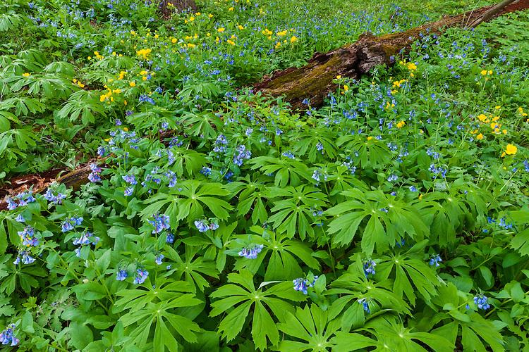 Field of Virginia Bluebells (Mertensia virginica) and Celadine Poppies (Stylophorum diphyllum) in flower at The Morton Arboretum; Lisle, IL