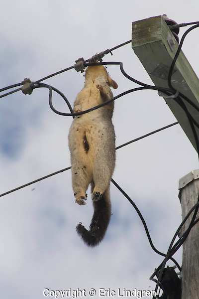 A dead female Common Brushtail Possum (Phalangeridae: Trichosurus vulpecula), electrocuted on suburban power lines while foraging at night. It is hanging by its jaws, clamped around the wire.  Day 8:  The drooping left ear and the opening pouch indicate relaxation of the tissues in the body. Blowflies are attracted to the decomposing flesh.  /  Possum - body length to 50cm, tail to 38cm., weight to 4kg.