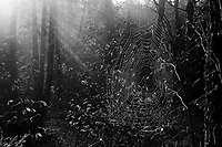Spiderweb And Sunbeams, Siamese Ponds Wilderness Area, Adirondack Forest Preserve, New York