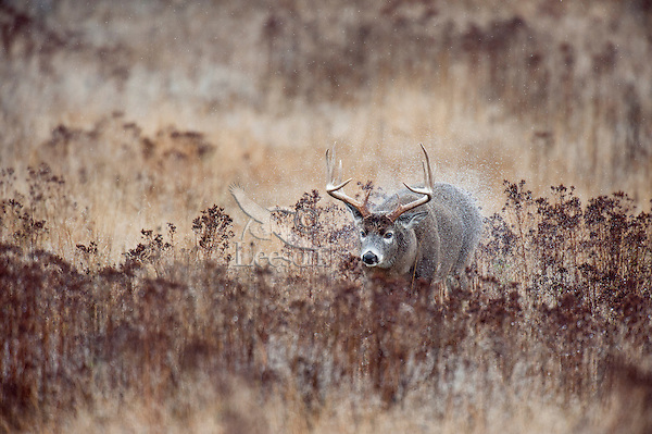 White-tailed Deer Buck (Odocoileus virginianus) shaking rain water off on cold, wet day.  Western U.S., late fall.