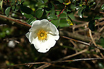 Cherokee rose is a wild single vine rose that blooms in the spring.  The bloosoms are large and prolific.
