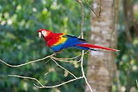 scarlet macaw, Ara macao, Tambopata Province, Peru, South America