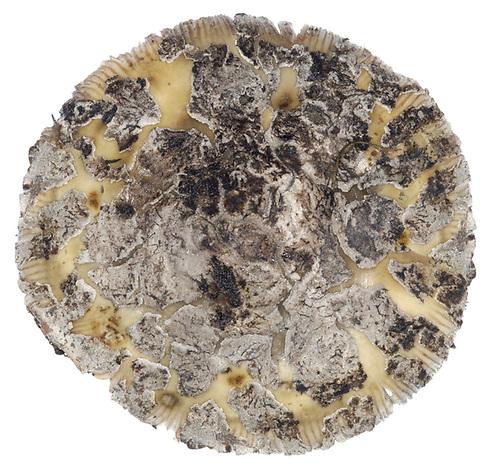 Snakeskin Grisette - Amanita ceciliae