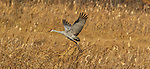 Sandhill crane in Crex Meadows (northwestern Wisconsin).