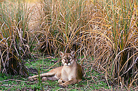 Florida panther (Puma concolor coryi) resting among everglades saw grass, endangered species, Florida.
