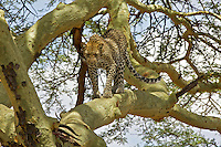 Leopard (Panthera pardus) returns to finish his Thompson's gazelle meal high in an acacia tree, Serengeti