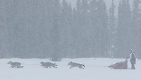 Saturday February 25, 2006 Willow, Alaska.   Patrick Mackey and team run through a snow squall on Willow Lake at the start day of the Junior Iditarod sled dog race.  Willow Lake.