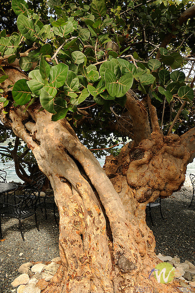 St. John, VI, Miss Lucy's Restaurant, Friis Bay, Sea Grape Tree