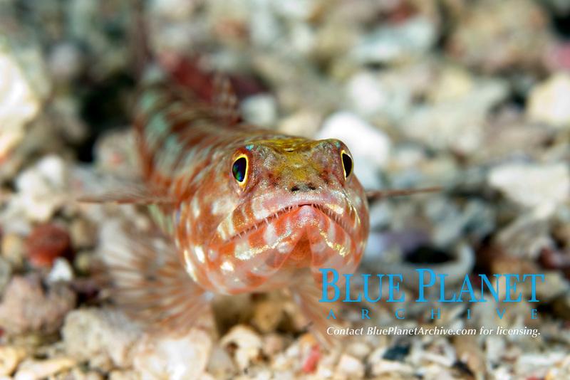 Reef lizardfish, Synodus variegatus, Mary Island, Solomon Islands, Pacific Ocean