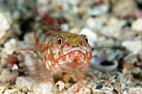 Reef lizardfish, Synodus variegatus, Mary Island, Solomon Islands, Pacific Ocean