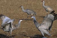Sandhill Crane (Grus americana) courtship offering.