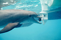JoJo, a wild sociable bottlenose dolphin, Tursiops truncatus, remains fascinated with boat propellers despite many injuries, Turks and Caicos, Caribbean Sea, Atlantic Ocean