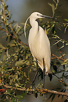 Little egret, Egretta garzetta, Lake Kerkini, Macedonia, Greece