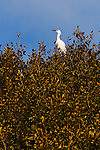 Egret in a tree, Upper Newport Bay, California